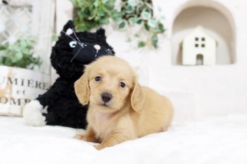 カニンヘンダックスフンド(ロング)の子犬(ID:1255411706)の1枚目の写真/更新日:2017-07-17