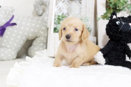 カニンヘンダックスフンド(ロング)の子犬(ID:1255411706)の2枚目の写真/更新日:2018-08-24