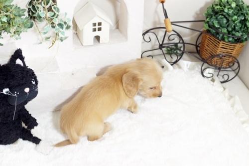 カニンヘンダックスフンド(ロング)の子犬(ID:1255411706)の3枚目の写真/更新日:2017-07-17