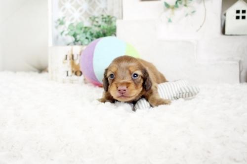 カニンヘンダックスフンド(ロング)の子犬(ID:1255411707)の1枚目の写真/更新日:2017-07-17