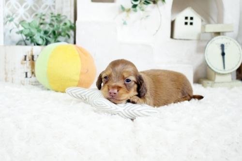 カニンヘンダックスフンド(ロング)の子犬(ID:1255411707)の2枚目の写真/更新日:2017-07-17