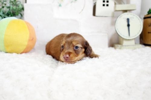 カニンヘンダックスフンド(ロング)の子犬(ID:1255411707)の3枚目の写真/更新日:2017-07-17