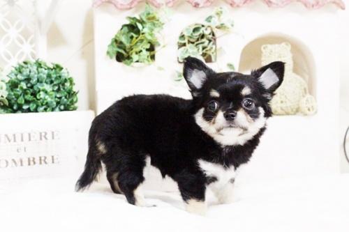 チワワ(ロング)の子犬(ID:1255411709)の1枚目の写真/更新日:2017-07-28