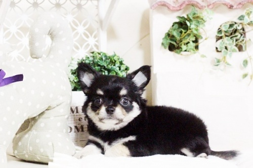 チワワ(ロング)の子犬(ID:1255411709)の2枚目の写真/更新日:2017-07-28