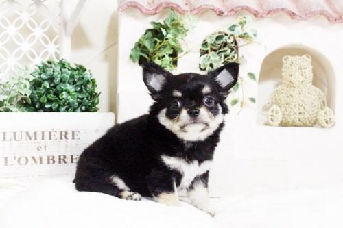 チワワ(ロング)の子犬(ID:1255411709)の3枚目の写真/更新日:2017-07-28
