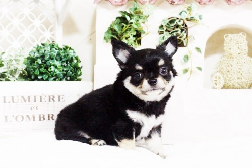 チワワ(ロング)の子犬(ID:1255411709)の4枚目の写真/更新日:2017-07-28