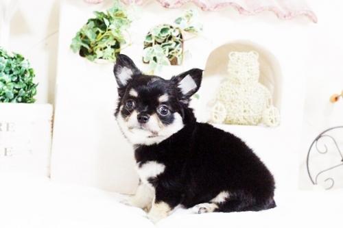 チワワ(ロング)の子犬(ID:1255411709)の5枚目の写真/更新日:2017-07-28