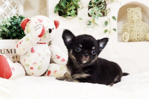 チワワ(ロング)の子犬(ID:1255411710)の1枚目の写真/更新日:2017-08-03
