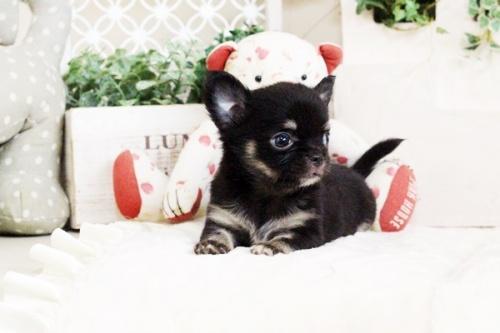 チワワ(ロング)の子犬(ID:1255411710)の2枚目の写真/更新日:2017-08-03