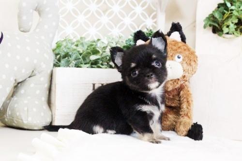 チワワ(ロング)の子犬(ID:1255411711)の1枚目の写真/更新日:2017-08-03