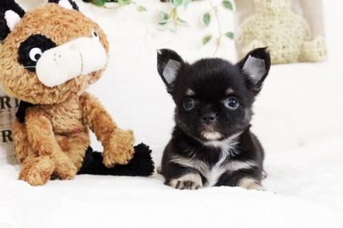 チワワ(ロング)の子犬(ID:1255411711)の2枚目の写真/更新日:2017-08-03