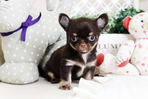 チワワ(ロング)の子犬(ID:1255411712)の1枚目の写真/更新日:2017-08-03