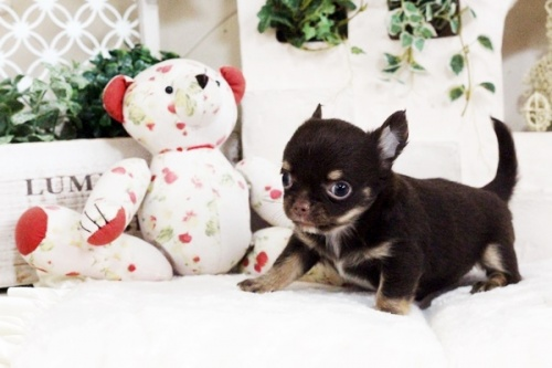 チワワ(ロング)の子犬(ID:1255411712)の2枚目の写真/更新日:2017-08-03