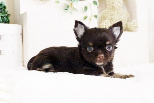 チワワ(ロング)の子犬(ID:1255411714)の1枚目の写真/更新日:2017-08-03