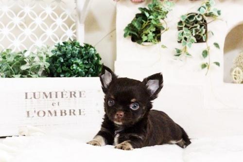 チワワ(ロング)の子犬(ID:1255411714)の2枚目の写真/更新日:2017-08-03