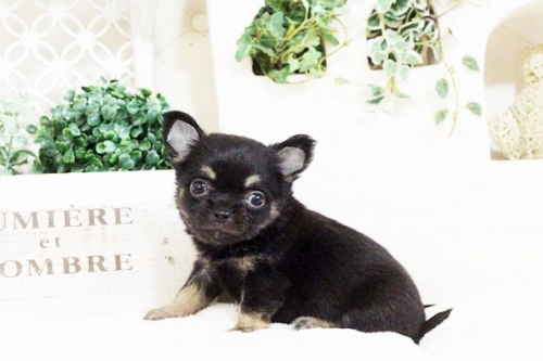 チワワ(ロング)の子犬(ID:1255411717)の1枚目の写真/更新日:2017-08-03