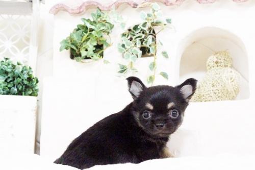 チワワ(ロング)の子犬(ID:1255411717)の2枚目の写真/更新日:2017-08-03