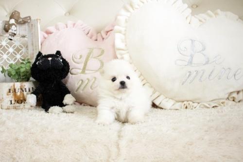 ポメラニアンの子犬(ID:1255411718)の1枚目の写真/更新日:2017-08-03