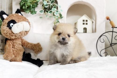 ポメラニアンの子犬(ID:1255411719)の2枚目の写真/更新日:2017-08-03