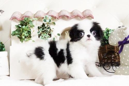 狆(チン)の子犬(ID:1255411720)の1枚目の写真/更新日:2017-08-03