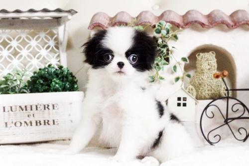 狆(チン)の子犬(ID:1255411720)の3枚目の写真/更新日:2017-08-03