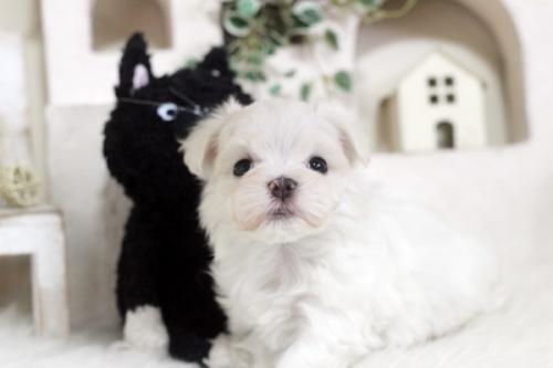マルチーズの子犬(ID:1255411723)の1枚目の写真/更新日:2017-08-22