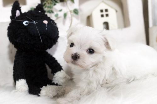 マルチーズの子犬(ID:1255411723)の2枚目の写真/更新日:2017-08-22