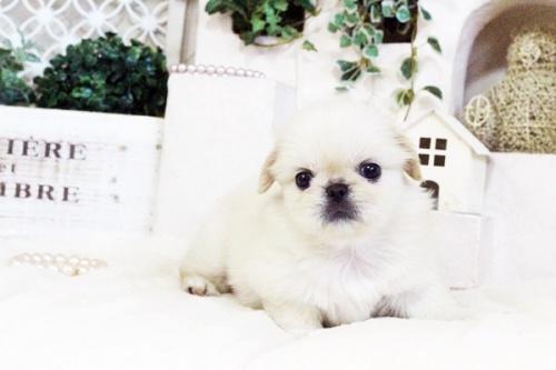 ペキニーズの子犬(ID:1255411724)の1枚目の写真/更新日:2017-08-14