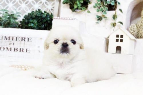 ペキニーズの子犬(ID:1255411724)の2枚目の写真/更新日:2017-08-14