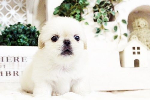 ペキニーズの子犬(ID:1255411724)の3枚目の写真/更新日:2017-08-14
