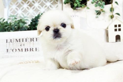 ペキニーズの子犬(ID:1255411724)の5枚目の写真/更新日:2017-08-14