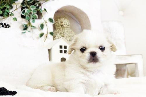 ペキニーズの子犬(ID:1255411725)の1枚目の写真/更新日:2017-08-14