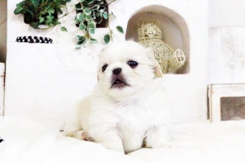 ペキニーズの子犬(ID:1255411725)の2枚目の写真/更新日:2017-08-14