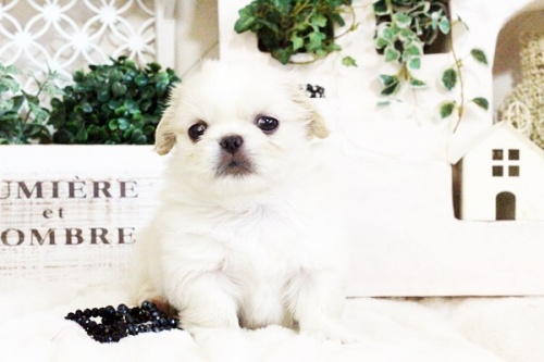ペキニーズの子犬(ID:1255411725)の3枚目の写真/更新日:2017-08-14