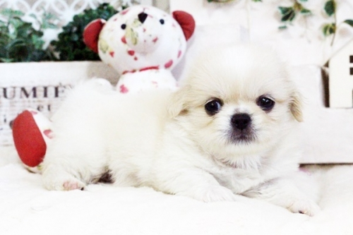 ペキニーズの子犬(ID:1255411726)の1枚目の写真/更新日:2017-08-14