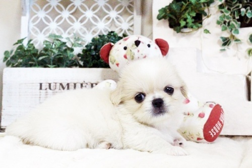 ペキニーズの子犬(ID:1255411726)の2枚目の写真/更新日:2017-08-14