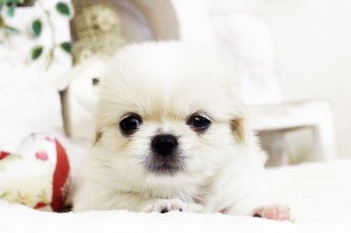 ペキニーズの子犬(ID:1255411726)の3枚目の写真/更新日:2017-08-14