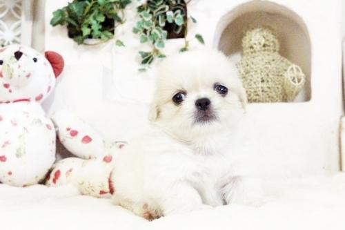 ペキニーズの子犬(ID:1255411726)の5枚目の写真/更新日:2017-08-30