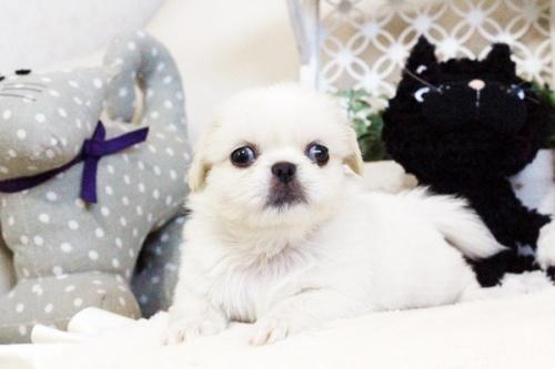 ペキニーズの子犬(ID:1255411727)の1枚目の写真/更新日:2017-08-14
