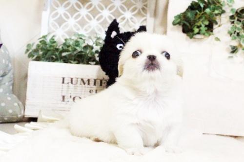 ペキニーズの子犬(ID:1255411727)の2枚目の写真/更新日:2017-08-14
