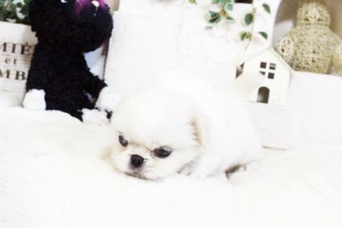 ペキニーズの子犬(ID:1255411727)の4枚目の写真/更新日:2017-08-14