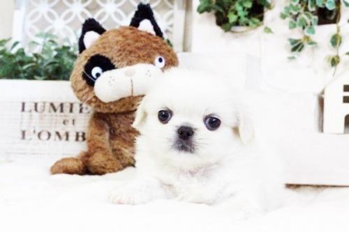 ペキニーズの子犬(ID:1255411728)の1枚目の写真/更新日:2017-08-30
