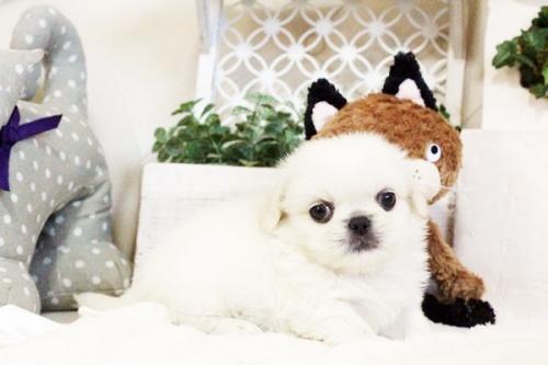 ペキニーズの子犬(ID:1255411728)の2枚目の写真/更新日:2017-08-30