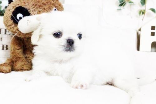 ペキニーズの子犬(ID:1255411728)の3枚目の写真/更新日:2017-08-30