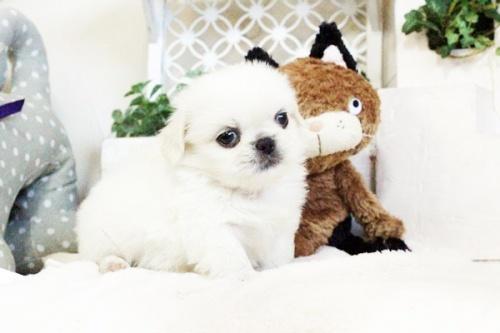 ペキニーズの子犬(ID:1255411728)の5枚目の写真/更新日:2017-08-30