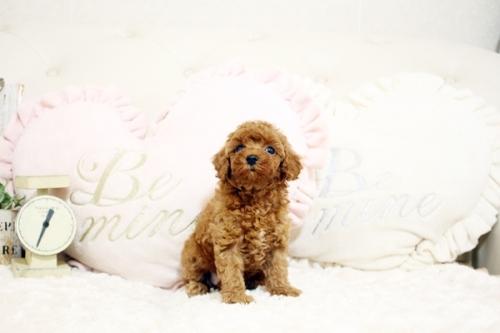 トイプードルの子犬(ID:1255411729)の1枚目の写真/更新日:2021-01-14