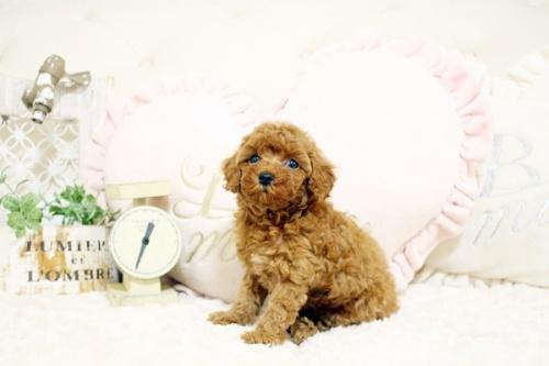 トイプードルの子犬(ID:1255411729)の2枚目の写真/更新日:2017-08-22