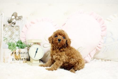 トイプードルの子犬(ID:1255411729)の3枚目の写真/更新日:2021-01-14