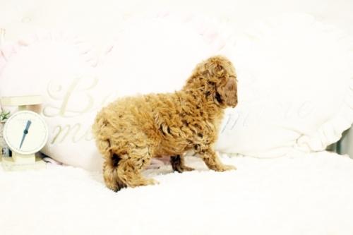 トイプードルの子犬(ID:1255411729)の4枚目の写真/更新日:2017-08-22