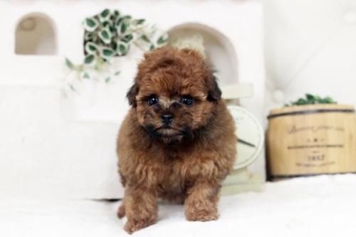 トイプードルの子犬(ID:1255411730)の1枚目の写真/更新日:2021-01-11